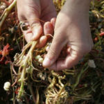 Маринованные семена настурции рецепт
